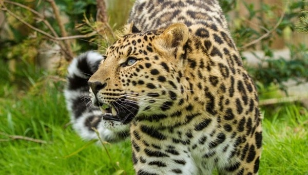 40 Pictures of Leopard in their Wild Nature 22