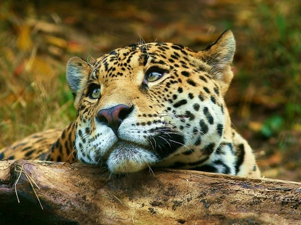 40 Pictures of Leopard in their Wild Nature 27