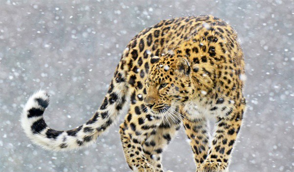 40 Pictures of Leopard in their Wild Nature 29
