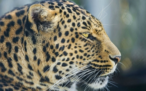 40 Pictures of Leopard in their Wild Nature 34