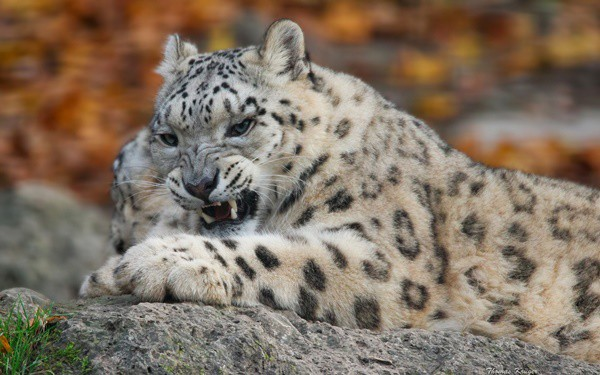 40 Pictures of Leopard in their Wild Nature 38