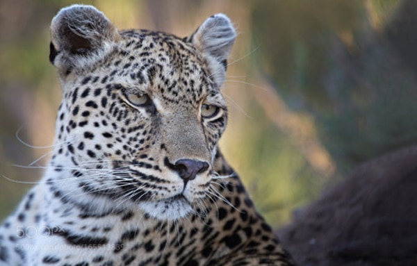 40 Pictures of Leopard in their Wild Nature 39