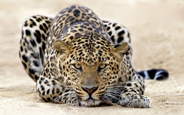 40 Pictures of Leopard in their Wild Nature 4