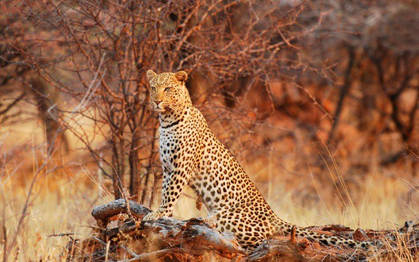 40 Pictures of Leopard in their Wild Nature 40