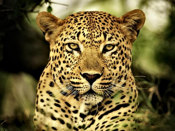 40 Pictures of Leopard in their Wild Nature 6