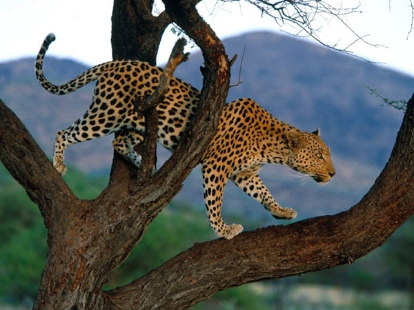 40 Pictures of Leopard in their Wild Nature 7