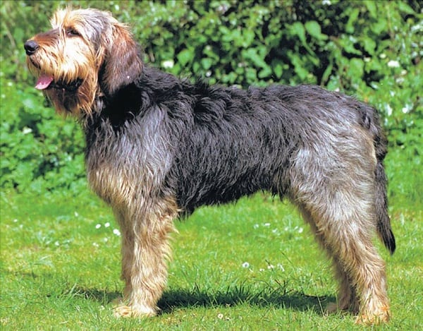 Otterhound Dogs Information and Facts 1