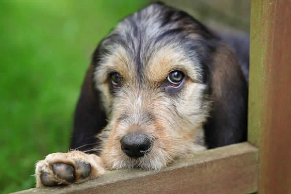 Otterhound Dogs Information and Facts 10