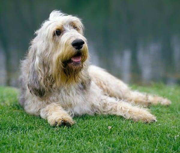 Otterhound Dogs Information and Facts 2