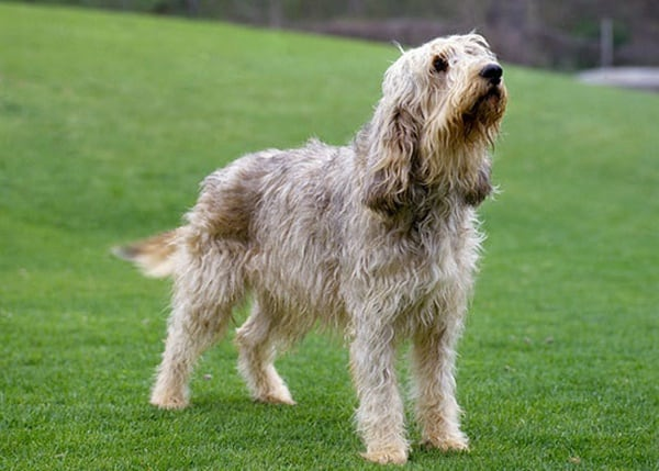 Otterhound Dogs Information and Facts 3
