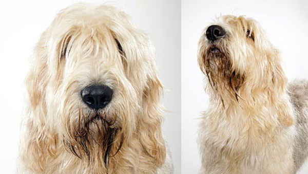 Otterhound Dogs Information and Facts 5