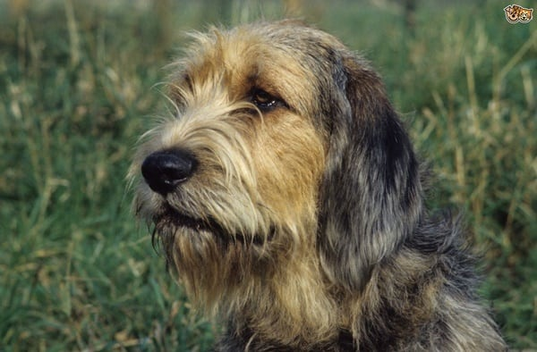 Otterhound Dogs Information and Facts 6