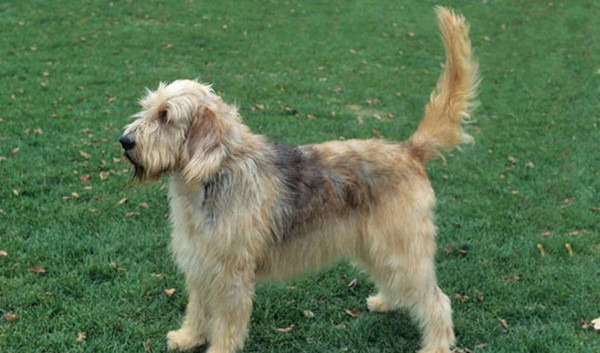 Otter Hound Dogs Information And Facts Tail And Fur