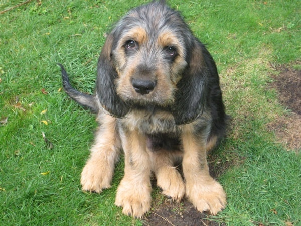 Otterhound Dogs Information and Facts 8