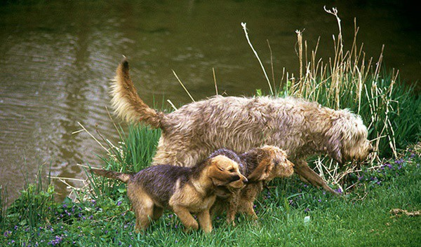 Otterhound Dogs Information and Facts 9