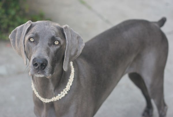 Weimaraner Dog Breed Information and Pictures - Tail and Fur