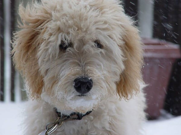 Learn about goldendoodle puppies