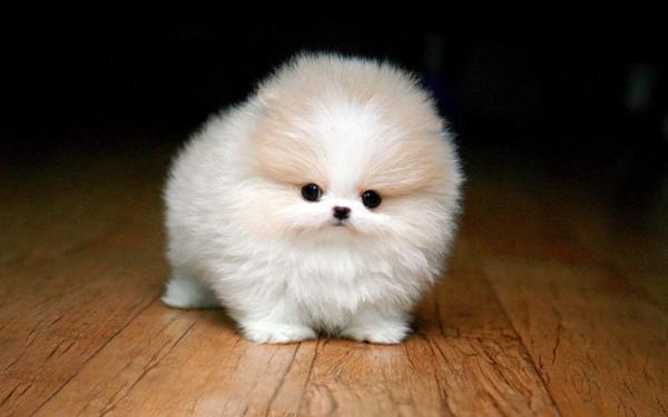 10-dog-breeds-that-look-like-bears-6