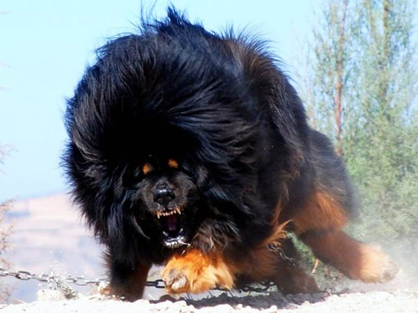 Large Bear Like Dog Breeds