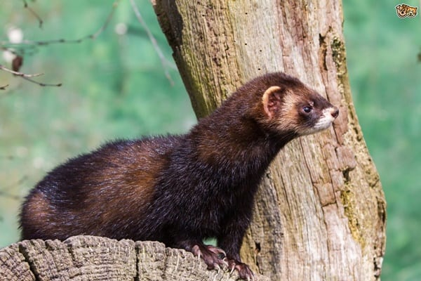 10-interesting-facts-that-you-dont-know-about-ferrets-10