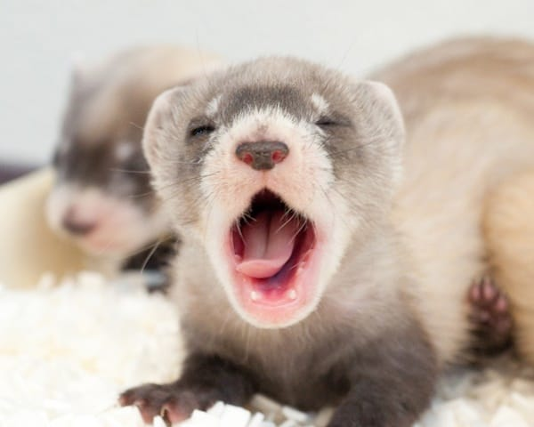 10-interesting-facts-that-you-dont-know-about-ferrets-3