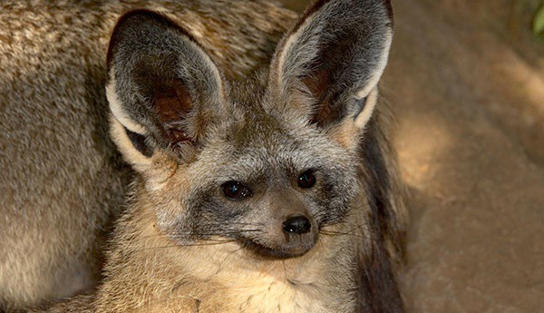 110-most-beautiful-fox-species-in-the-world-1