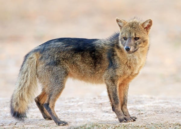 110-most-beautiful-fox-species-in-the-world-10