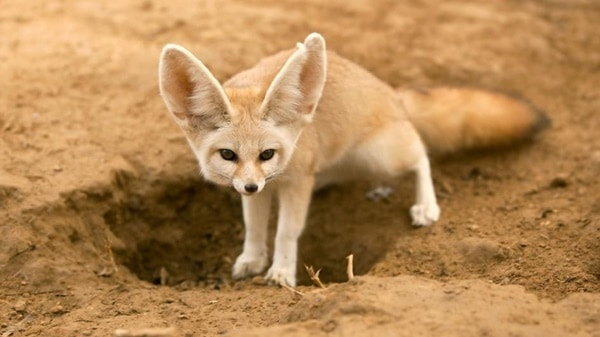 110-most-beautiful-fox-species-in-the-world-2