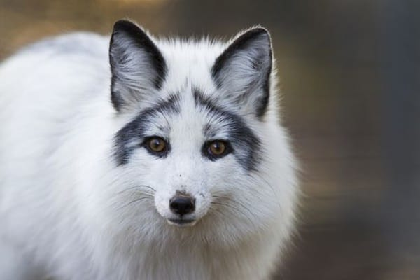 110-most-beautiful-fox-species-in-the-world-3