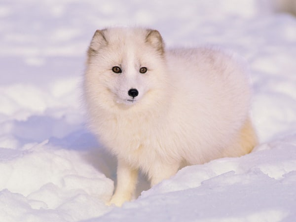 110-most-beautiful-fox-species-in-the-world-6