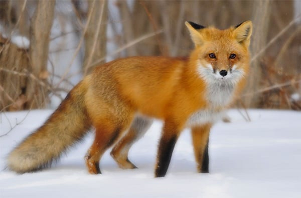 110-most-beautiful-fox-species-in-the-world-7