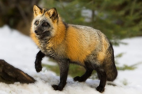 110-most-beautiful-fox-species-in-the-world-8