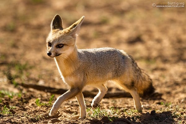 110-most-beautiful-fox-species-in-the-world-9