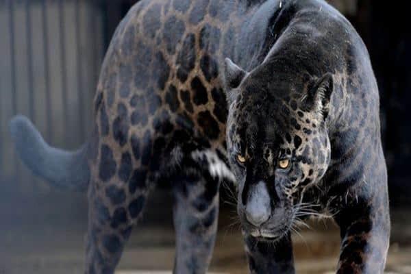 Rare Hybrid Animals