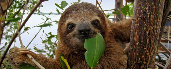 20 Interesting Facts about Sloths 4