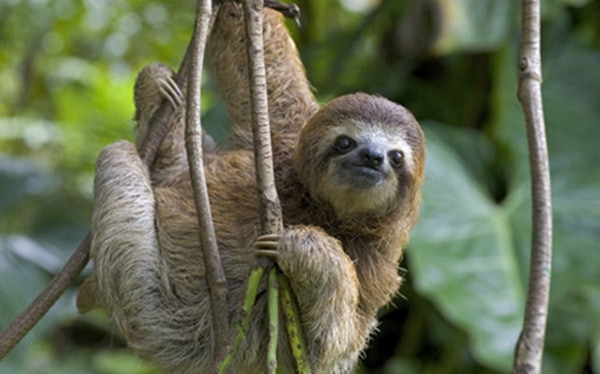20 Interesting Facts about Sloths 5
