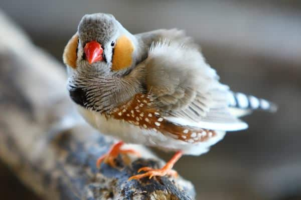 25 Interesting Zebra Finches Facts That will amaze You ...