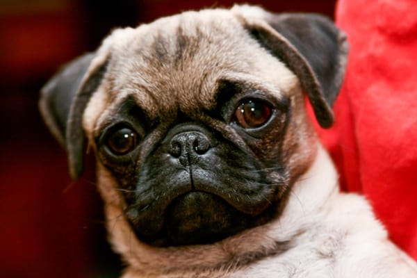 Cute Pug Dog Pictures 1