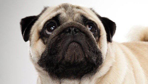 Cute Pug Dog Pictures 11