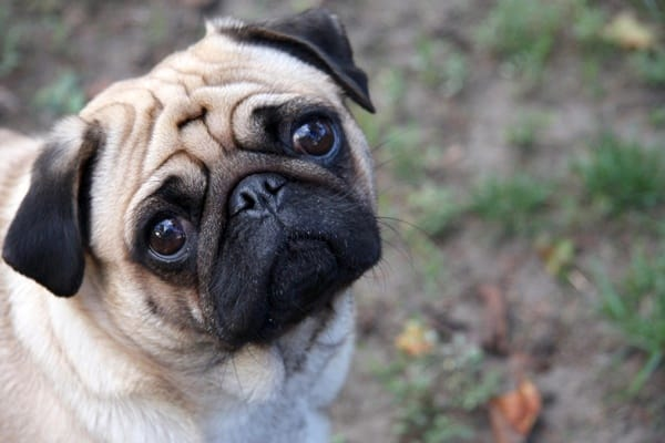 Cute Pug Dog Pictures 13