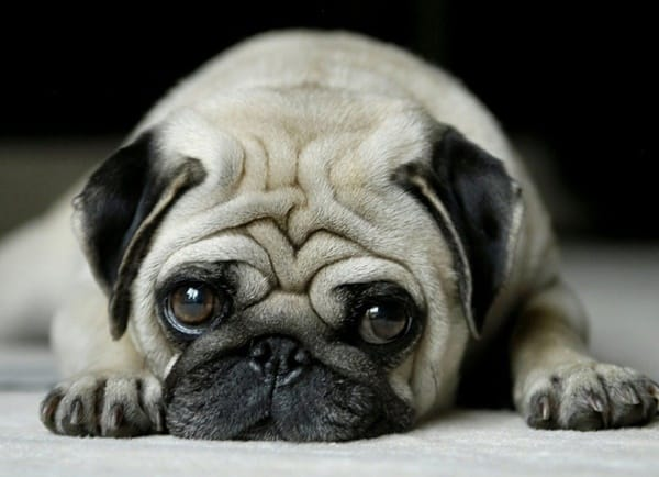 Cute Pug Dog Pictures 14
