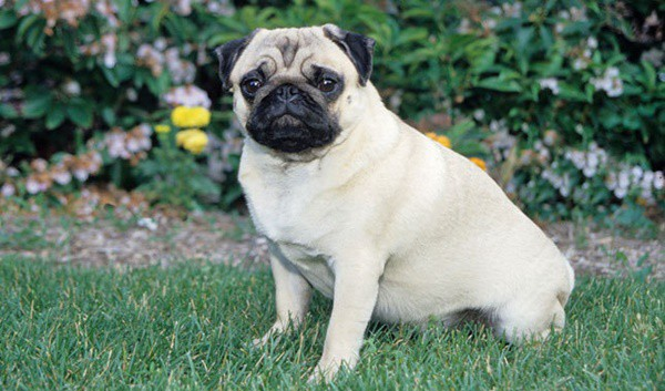 Cute Pug Dog Pictures 2