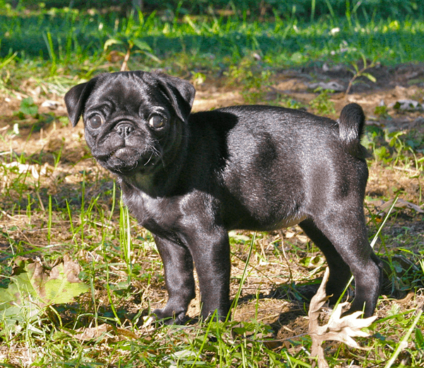 Cute Pug Dog Pictures 22