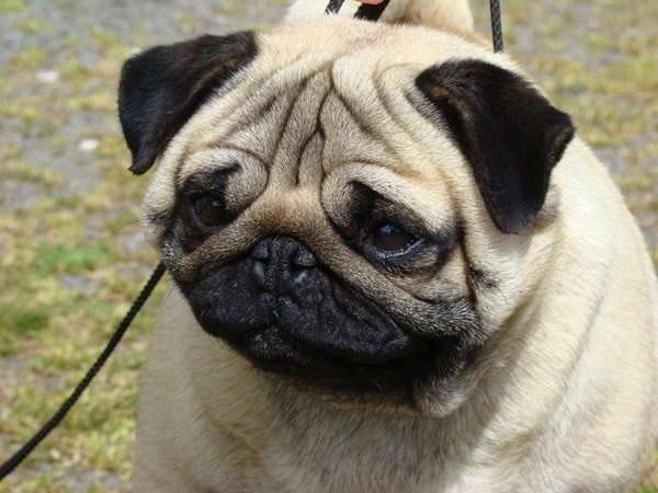 Cute Pug Dog Pictures 26