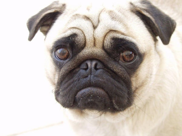 Cute Pug Dog Pictures 3