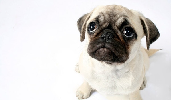 Cute Pug Dog Pictures 4