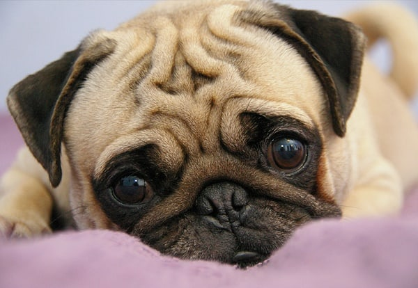 Cute Pug Dog Pictures 5