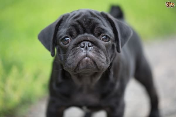 Cute Pug Dog Pictures 6