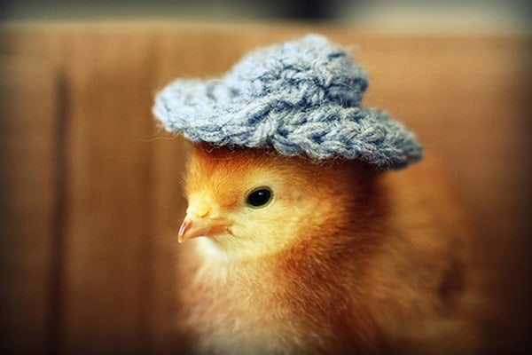 40 Funny and Cute Ideas Of Chicken Pictures 11