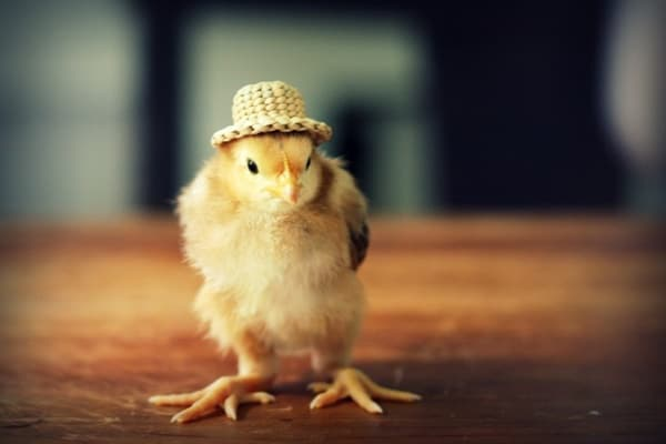 40 Funny and Cute Ideas Of Chicken Pictures 12